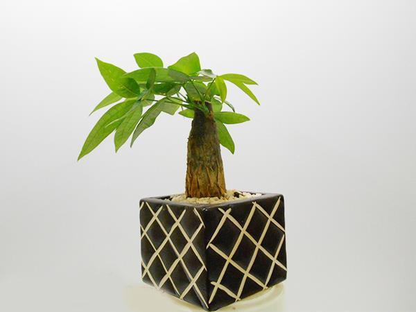 Những loại cây để bàn hợp phong thủy nên lựa chọn