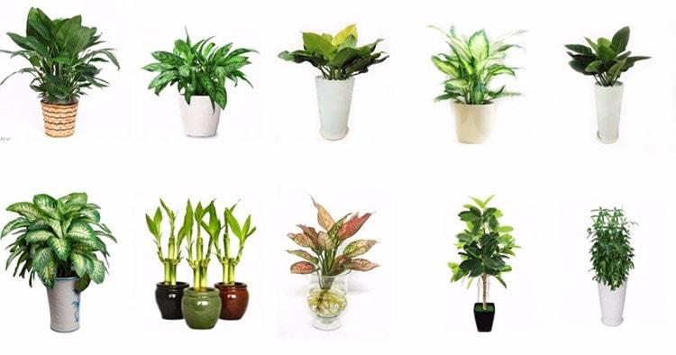 Những loại cây phong thủy được sử dụng nhiều