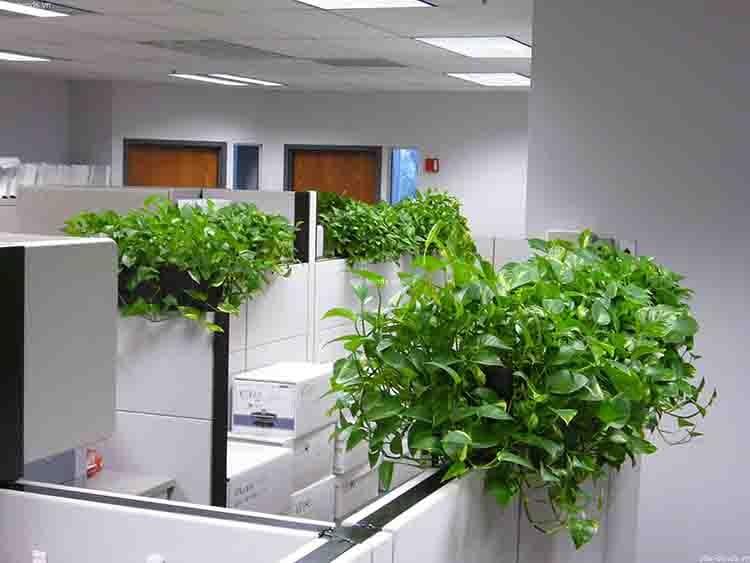 Cây xanh giúp thanh lọc không khí cho văn phòng