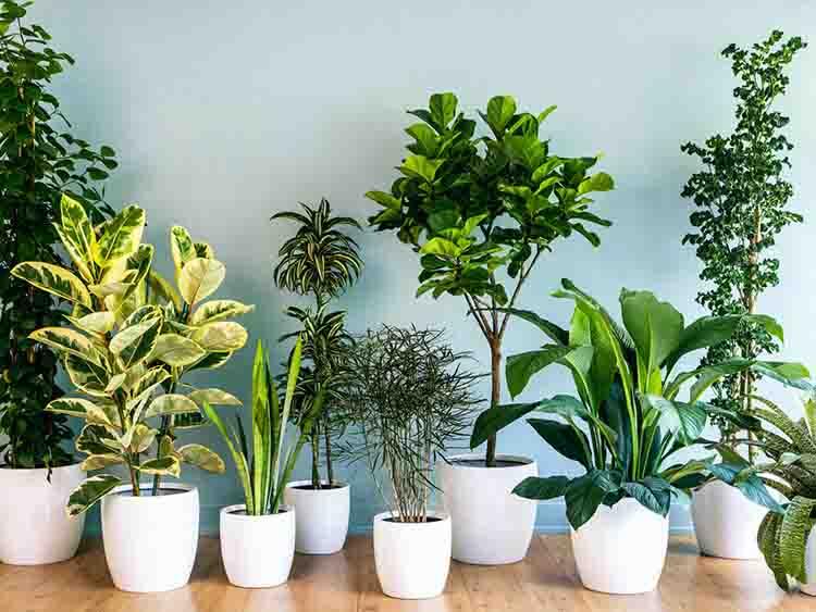 Có nhiều loại cây xanh được dùng làm cây nội thất văn phòng