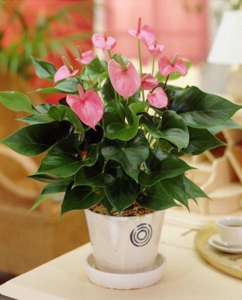 Hoa hồng môn đặc biệt thích hợp cho người mệnh Hỏa