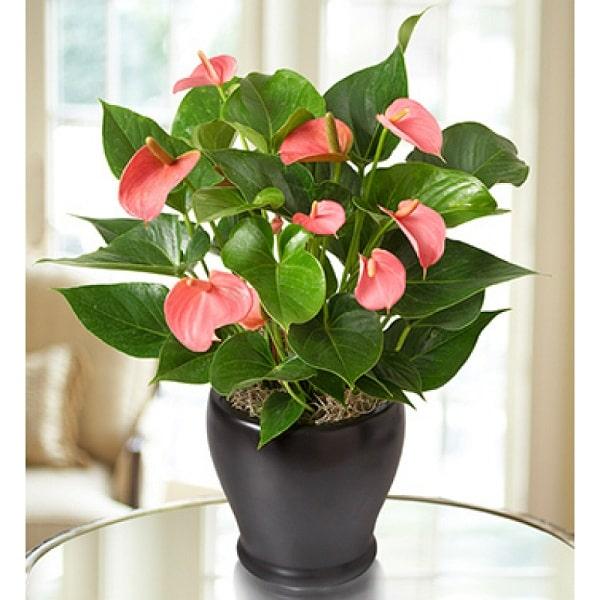 Cây tiểu hồng môn là loại cây đem lại nhiều may mắn
